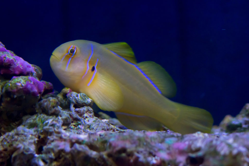 Go Back > Gallery For > Clown Gobies